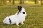 picture of white rabbit  - White and black fluffy small baby rabbit on green grass in park - JPG