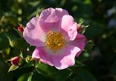 image of rosa  - Wild rose - JPG