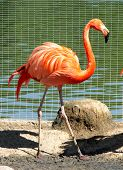 picture of pink flamingos  - Pink flamingo standing on the shore of the lake - JPG