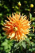 pic of rare flowers  - Beautiful rare dahlias in a botanical garden - JPG