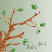 pic of coniferous forest  - Pine tree Old branch coniferous forest background vector illustration - JPG