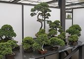 foto of bonsai  - Assorted Bonsai trees in shop for sale - JPG