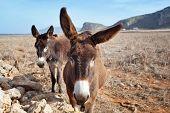pic of donkey  - Curious donkeys in Favignana Egadi Islands Sicily - JPG