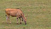 Eland, Taurotragus Oryx