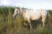 An appaloosa stallion horse