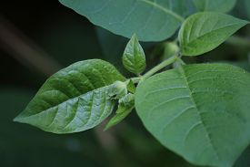foto of belladonna  - Buds and leaves of the deadly nightshade  - JPG