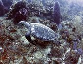 Ridley Turtle Swimming In Coral