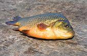 Freshwater Fish. Carp