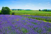 stock photo of lavender field  - Lavender field in the Shropshire countryside - JPG