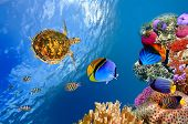 pic of coral reefs  - Underwater landscape with couple of Butterflyfishes and turtle - JPG