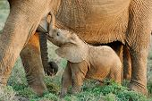 foto of teats  - A baby African Elephant  - JPG