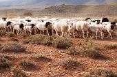 stock photo of semi-arid  - Flock of sheep walking on dirt road in semi - JPG