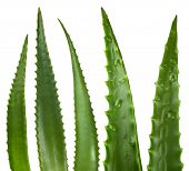 picture of aloe-vera  - Aloe vera leaves isolated on white - JPG