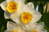 Flower Of Narcissus