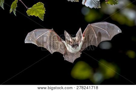 poster of Flying Bat Hunting In Forest. The Grey Long-eared Bat (plecotus Austriacus) Is A Fairly Large Europe