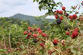 Close Up Of A Cluster Of Wild Blackberries Ripening In The Mountains In Summertime poster