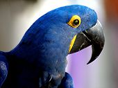 Beaytiful Indigo blue Parrot or Macaw