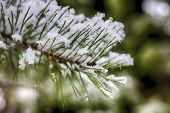 Pine Branches In The Snow, Macro. Snow-covered Needles Of An Evergreen Tree. poster