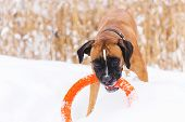 Brown Pedigreed Dog Playing With Orange Circle Toy On The Snow Field. Boxer poster
