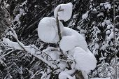 A Snowdrift On A Bush Looks Like A Small Child Or Man Sitting On Tree. Winter Landscape With Snow-co poster