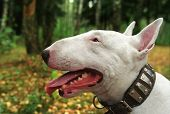 walk with bullterrier