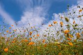 Beautiful Blooming Yellow Cosmos Flower With Clouds And Blue Sky. Landscape And Botany Image. poster