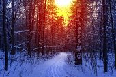 Ski Run In The Winter Sunny Forest. Winter Snow Forest Trees Sunset Background. Red Sunset In Winter poster