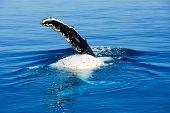 Humpback Whale in Hervey bay, Queensland, Australia
