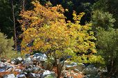 Bigleaf Maple Tree