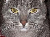 Cat - Hypnotist