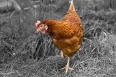 Brown Hen Is Searching Somethink On Background