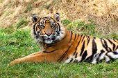 Curious Sumatran Tiger Lying In The Grass