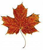 Autumn Leaf Orange-red