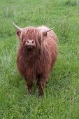 One Highland Cow