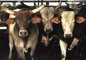 stock photo of broncos  - Rodeo bull cows longhorn cattle standing together after a night at the rodeo - JPG