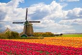 Windmill With Tulip Field