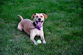 Yellow Labrador / Lab Mix With Tennis Ball