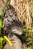 Fishing Cat Stalking Through Long Grass