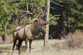Bull Elk in Rut