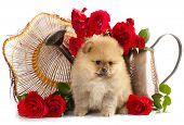 spitz Pommeren puppies en bloemen rozen