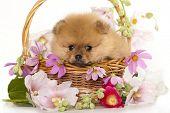 spitz Pommeren puppies en bloemen