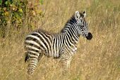 Bebê Zebra em pé
