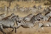 stock photo of galloping horse  - A herd of common zebras  - JPG