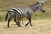 Common Zebra Walking