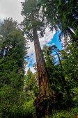 California Sequoia Trees