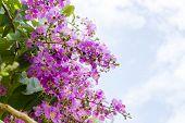 Cananga Flowers