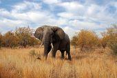 Elephant At Kruger Park South Africa