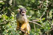 Common Squirrel Monkey In A Tree