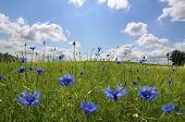 Meadow With Corn Flowers