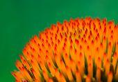 Echinacea flower closeup.
